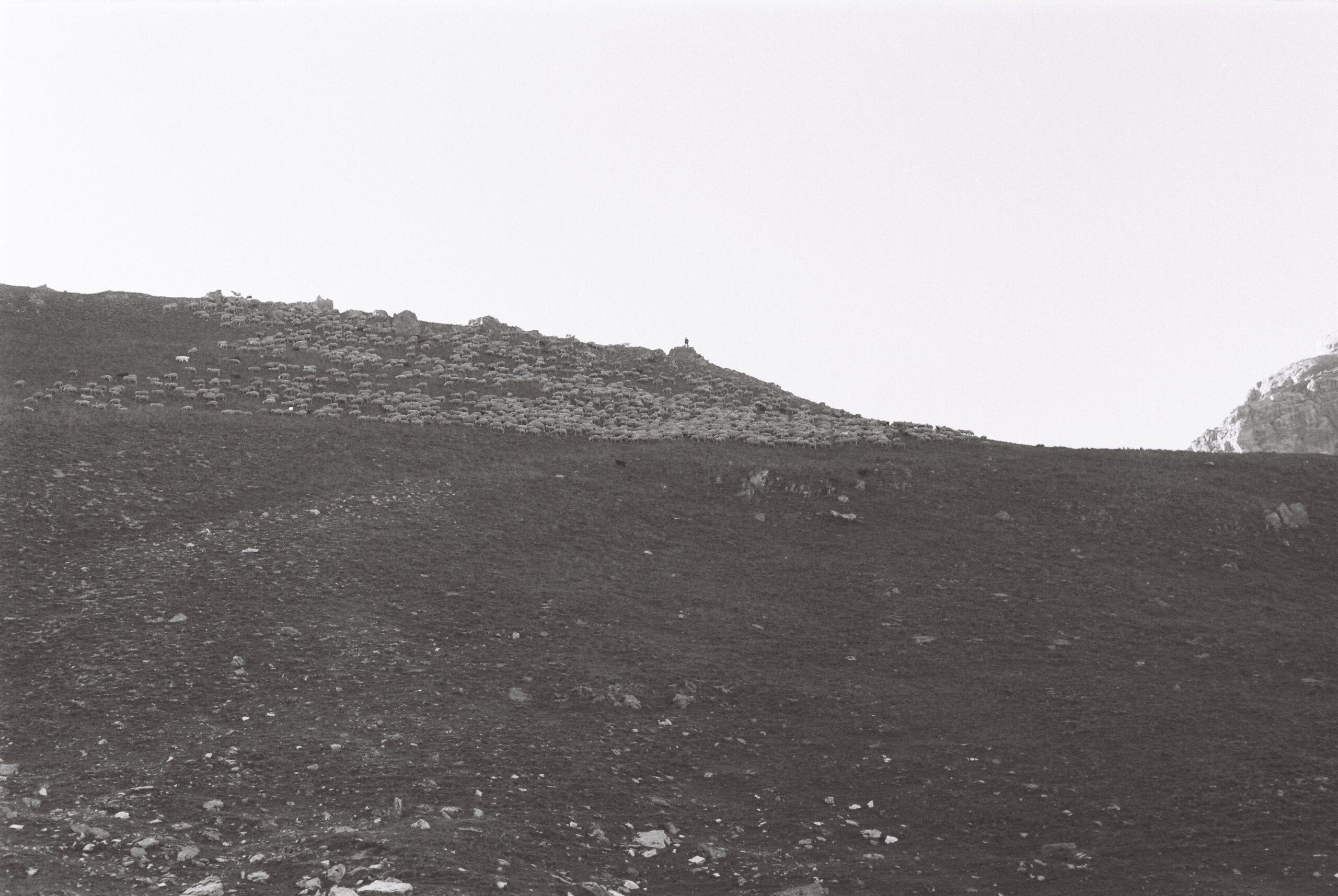 Bergère mérinos dans l'Ubaye